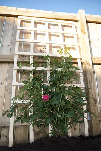 DIY Garden Trellis From Stephanie White